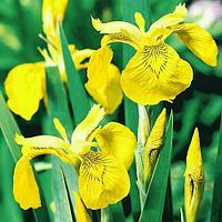 Ирис болотный желтый