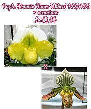 "Орхидея азиатская. Под Заказ! Paph. Tommie Hanes 'Althea' FCC/AOS × venustum. Размер: 3""."