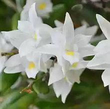 Орхидея азиатская. Под Заказ! Den.crumenatum. Размер: не указан.