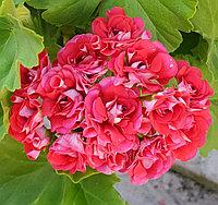 Rosebud Supreme /розебуд