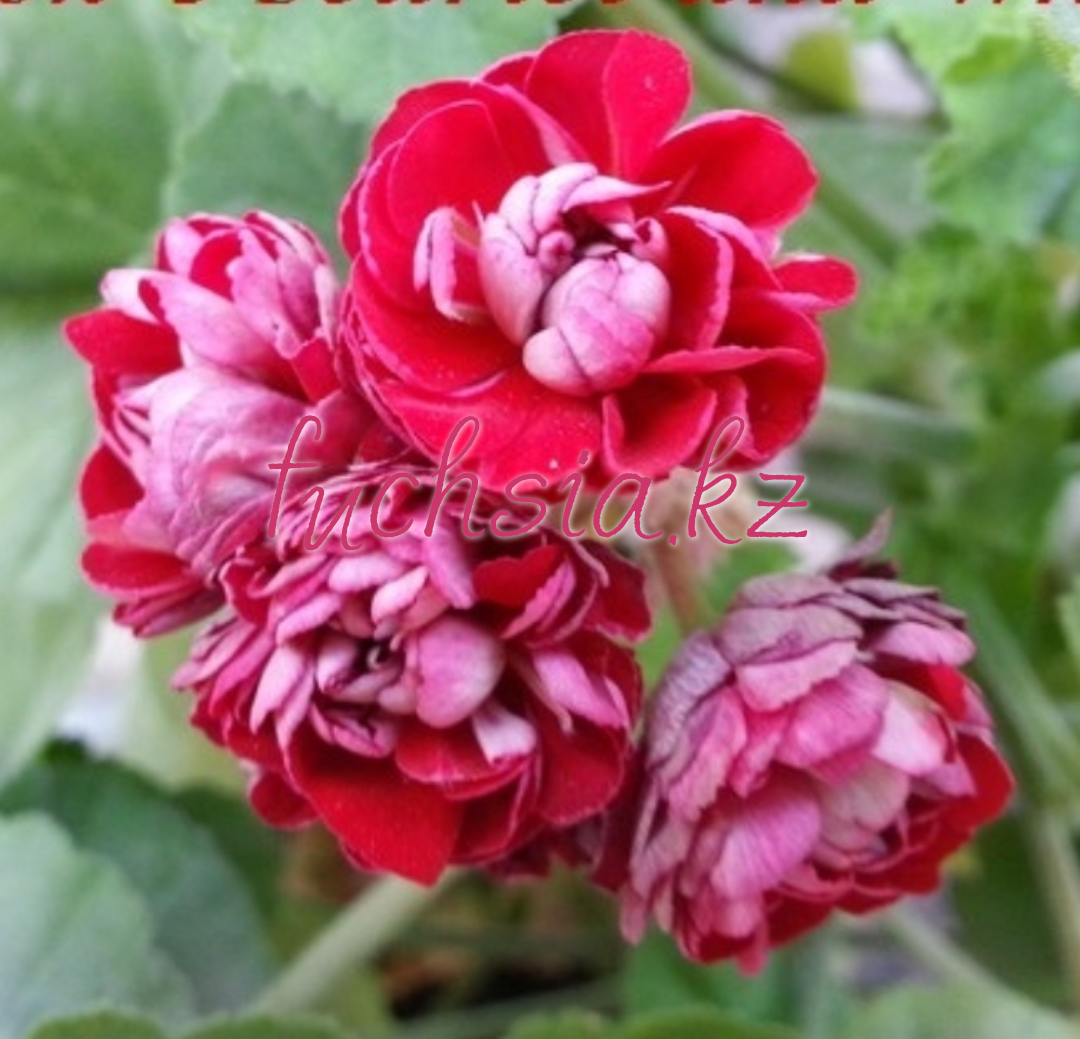 Cook's Scarlet & White