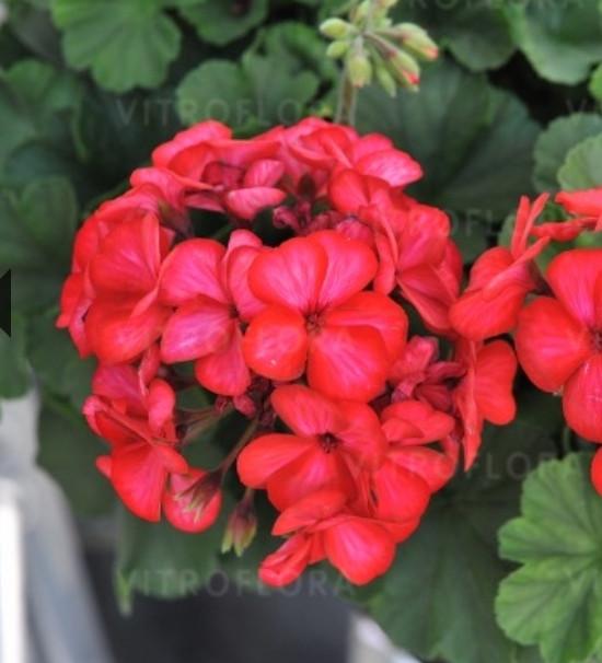 Sarita Sunstar Red