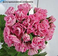 Princessa Filippa/ розебуд