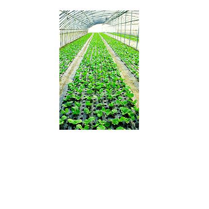 Семена растений с оздоровительными свойствами, фото 2