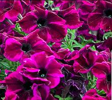Crazytunia Cosmic Purple N532 / подрощенное растение