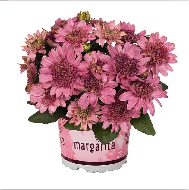 Margarita Double Pink