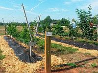 Cистемы выращивания ежевики на Y-образной поворотной шпалере