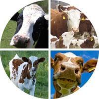 Заменитель цельного молока для интенсивного роста телят «DENSTART»