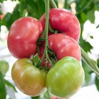 Семена розового томата Aydora