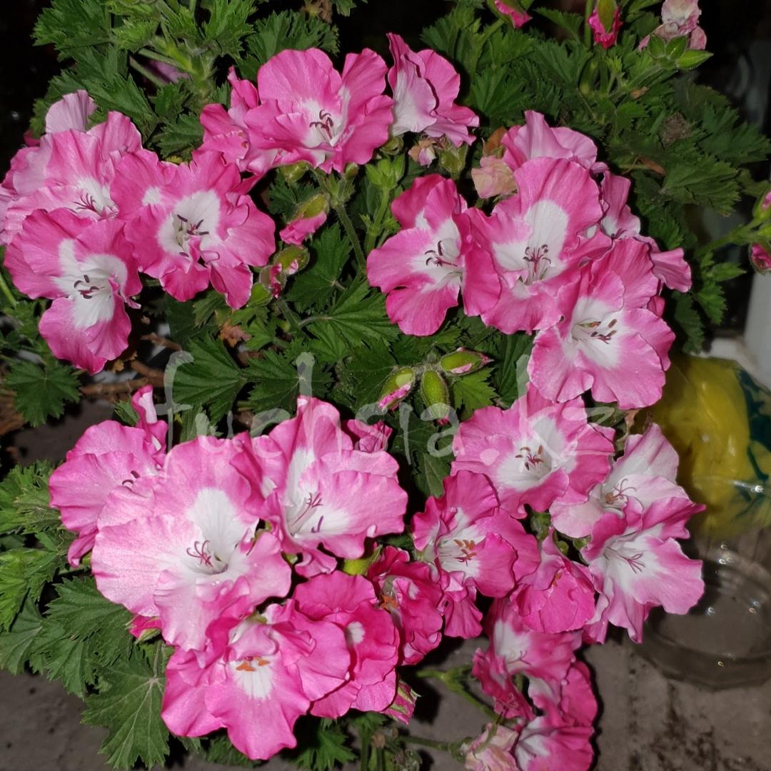 Pac Bermuda Pink / укор.черенок