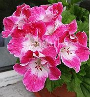 Mexicaly Rose / укор.черенок