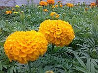 Тагетес желтый ,оранжевый ,лимонный