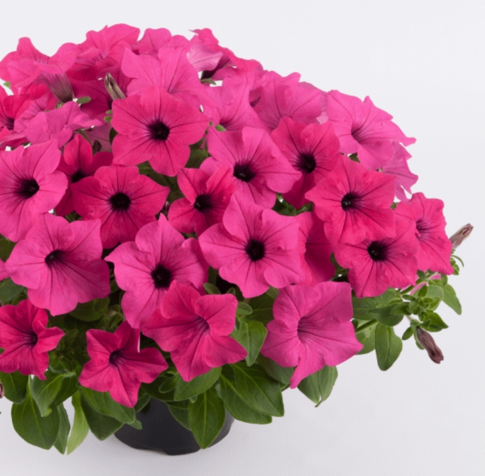 Surfinia Sumo Rose N 524 / подрощенное растение