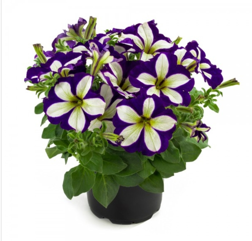 Lucky Lilac N 525