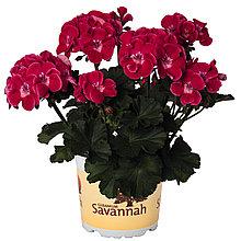 Пеларгония зональная Savannah Telmex Ruby