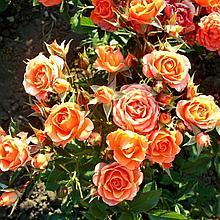 "Корни роз ""Вуду"". 1шт"
