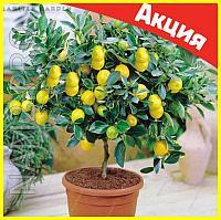 Комнатные плодовые мини-деревья (лимон, апельсин, киви, вишня, гранат, мандарин, груша), фото 1