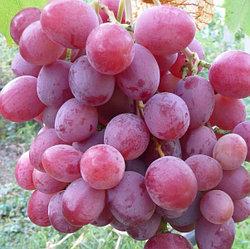 Виноград сорт Анюта розовый ранний