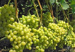 Виноград сорт Аркадия Настя жёлтый ранний