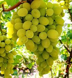 Виноград сорт Августин