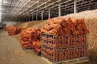Оптовые поставки картофеля  из Египта, фото 1