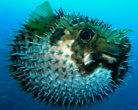 Рыба-шар, ЕЖ (Spiny Porcupinefish Diodon holacanthus)