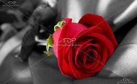 Постер Красная Роза