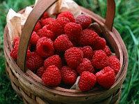 Малина - все о замечательной ягоде