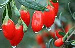 Годжи – чудо-ягода из Тибета.
