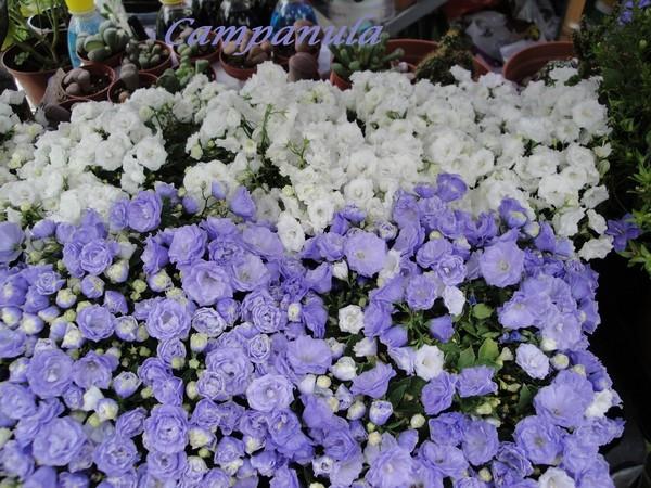 Blue Bali / взрослое растение