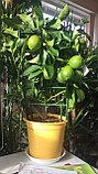 Лимонное дерево с плодами., фото 3