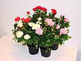 Роза  комнатная, фото 2