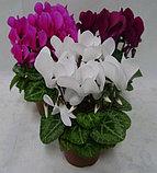 Цикламен. Комнатные цветы. Горшечные растения., фото 2