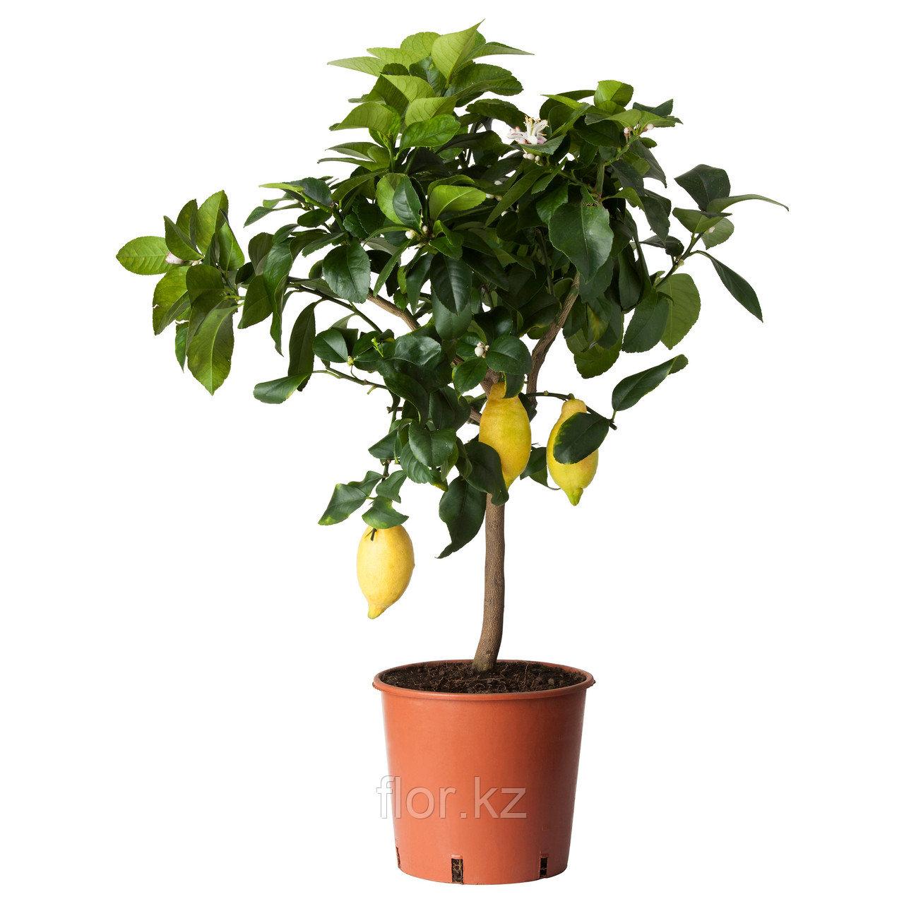 Лимонное дерево с плодами.