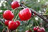 Вишня Уральская рубиновая