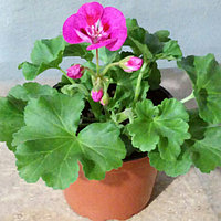 Pelargonium Zonale Flower Fairy Berry