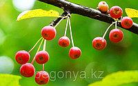 Яблоня Сибирская