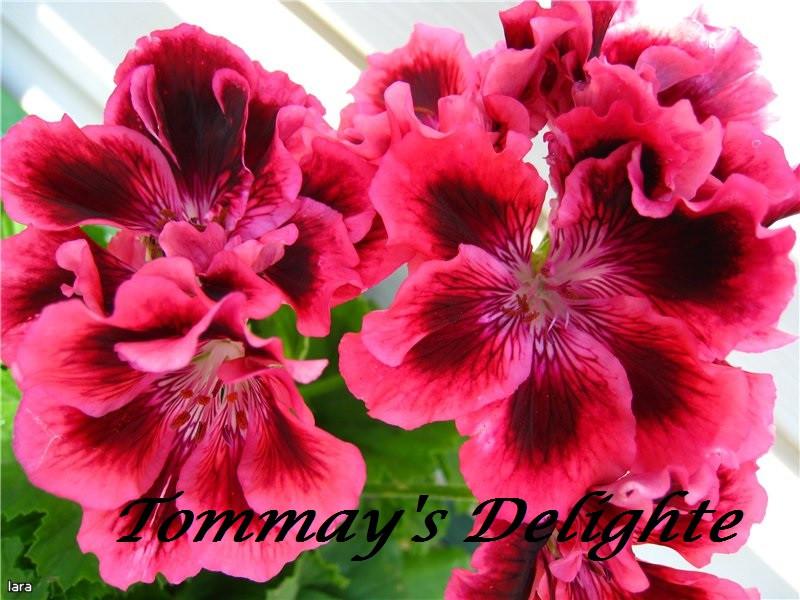 Tommay's Delighte / укор.черенок