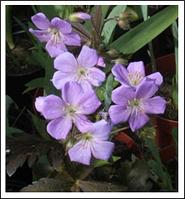 Герань Geranium ciner Lizabeth