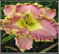 ЛИЛЕЙНИК Hemerocallis Blush'n Pink Eye