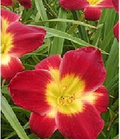 ЛИЛЕЙНИК Hemerocallis Christmas Is