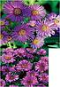 Астра многолетняя Aster nov-ang Purple Dome