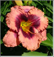 ЛИЛЕЙНИК Hemerocallis Daring Deception