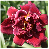 ЛИЛЕЙНИК Hemerocallis Double Red Royal