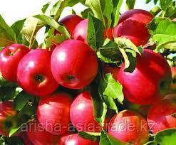 Саженец яблони Айдаред ММ106