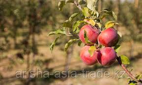 Саженец яблони Макпал ММ 106