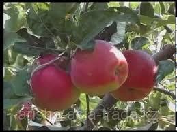 Саженец яблони Максат ММ 106