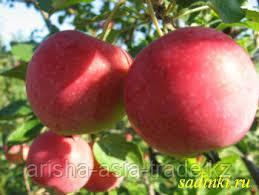 Саженец яблони Милтон ММ 106