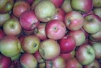 Саженец яблони Салтанат ММ 106