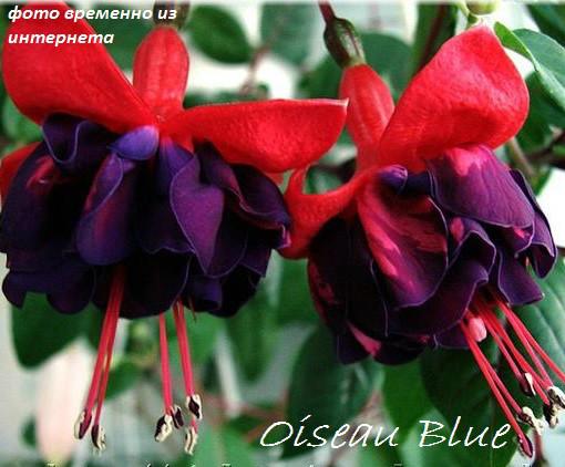 Oisleau Blue
